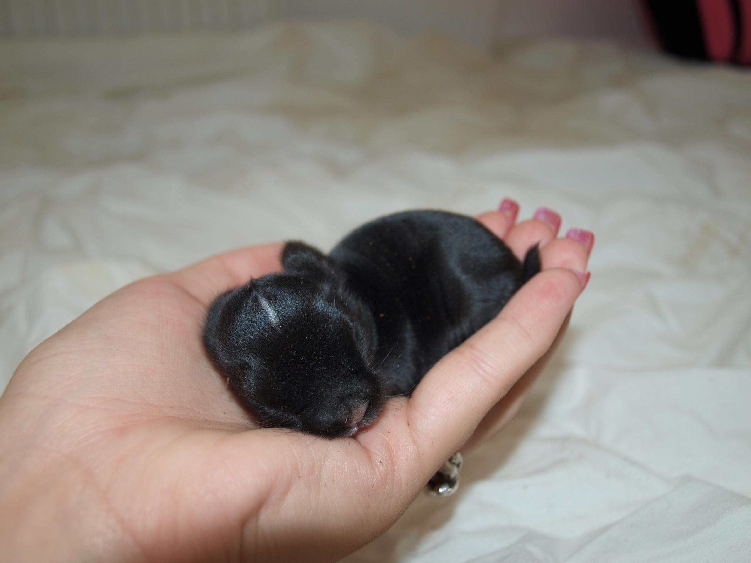 gungstol blocket säljes ~ (s) kaniner  ungar & vuxna  köpes, säljes & transport