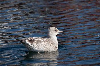 Simmande fågel