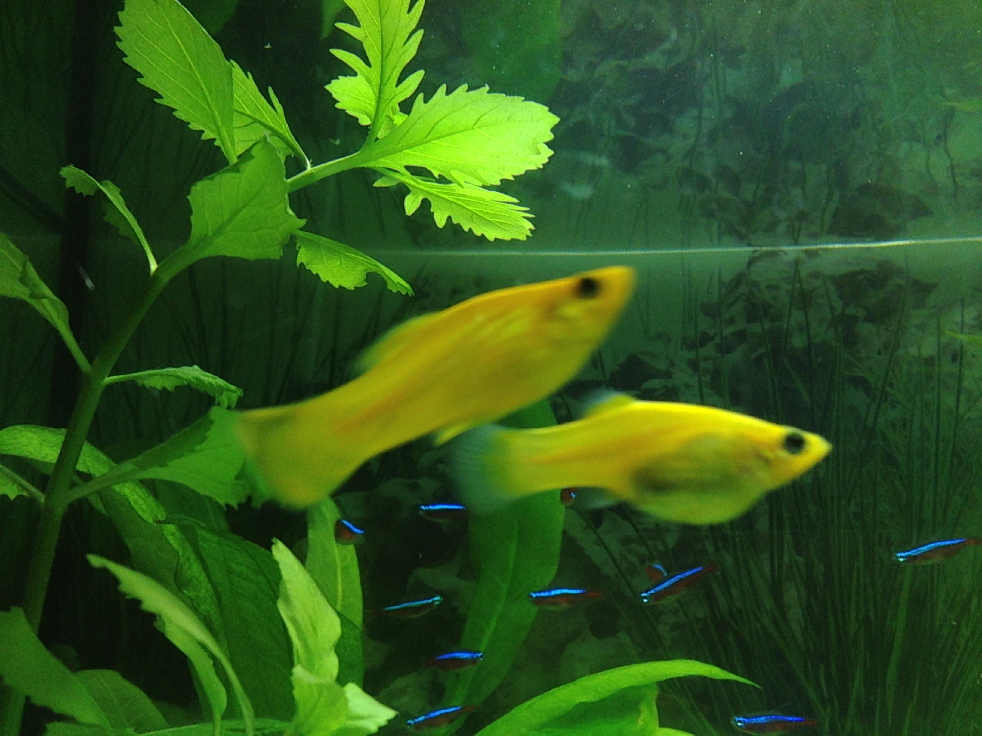 hur länge är en fisk gravid
