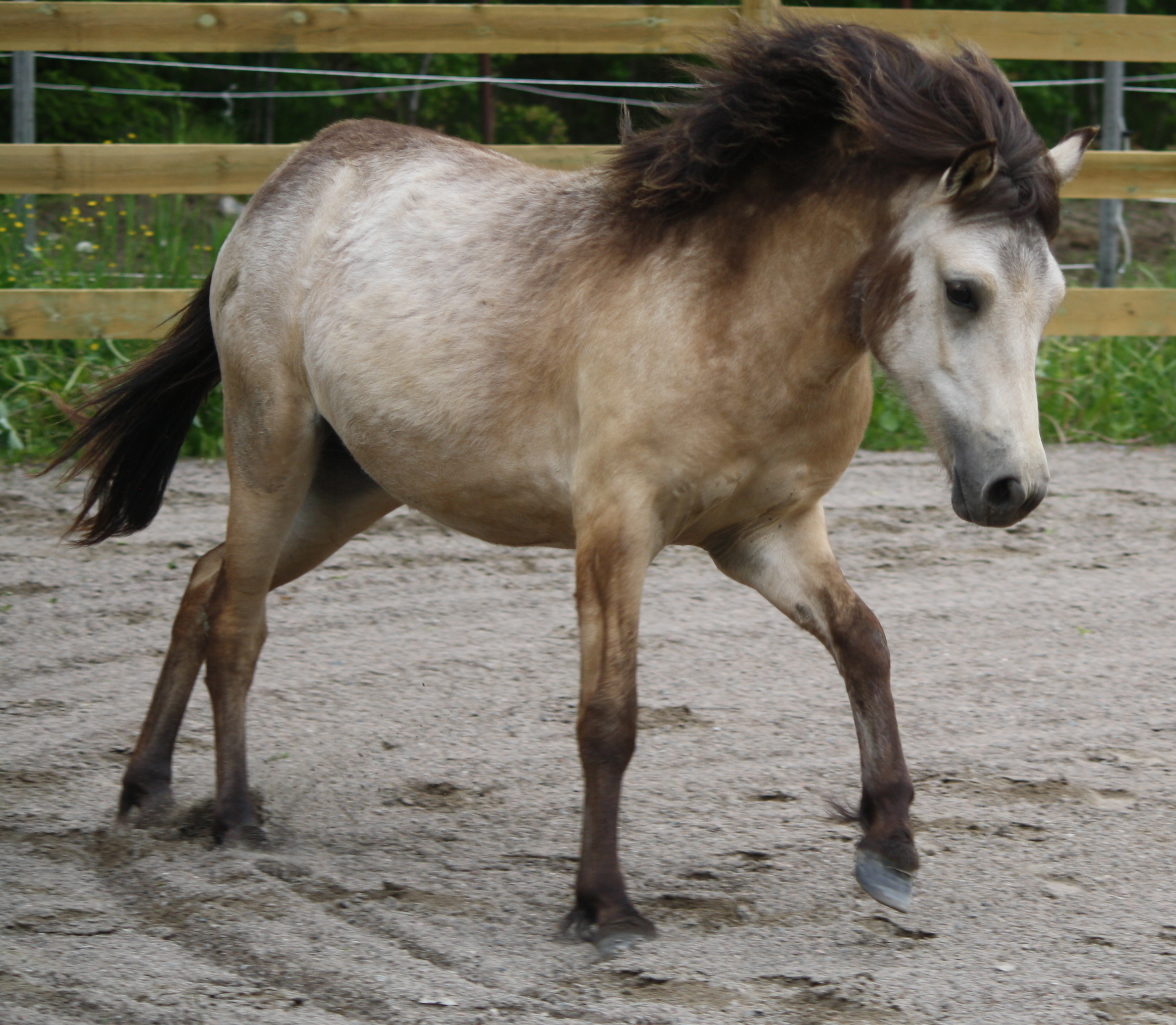Superfina ponnyer till salu Annonser Säljes Ponnytrav iFokus