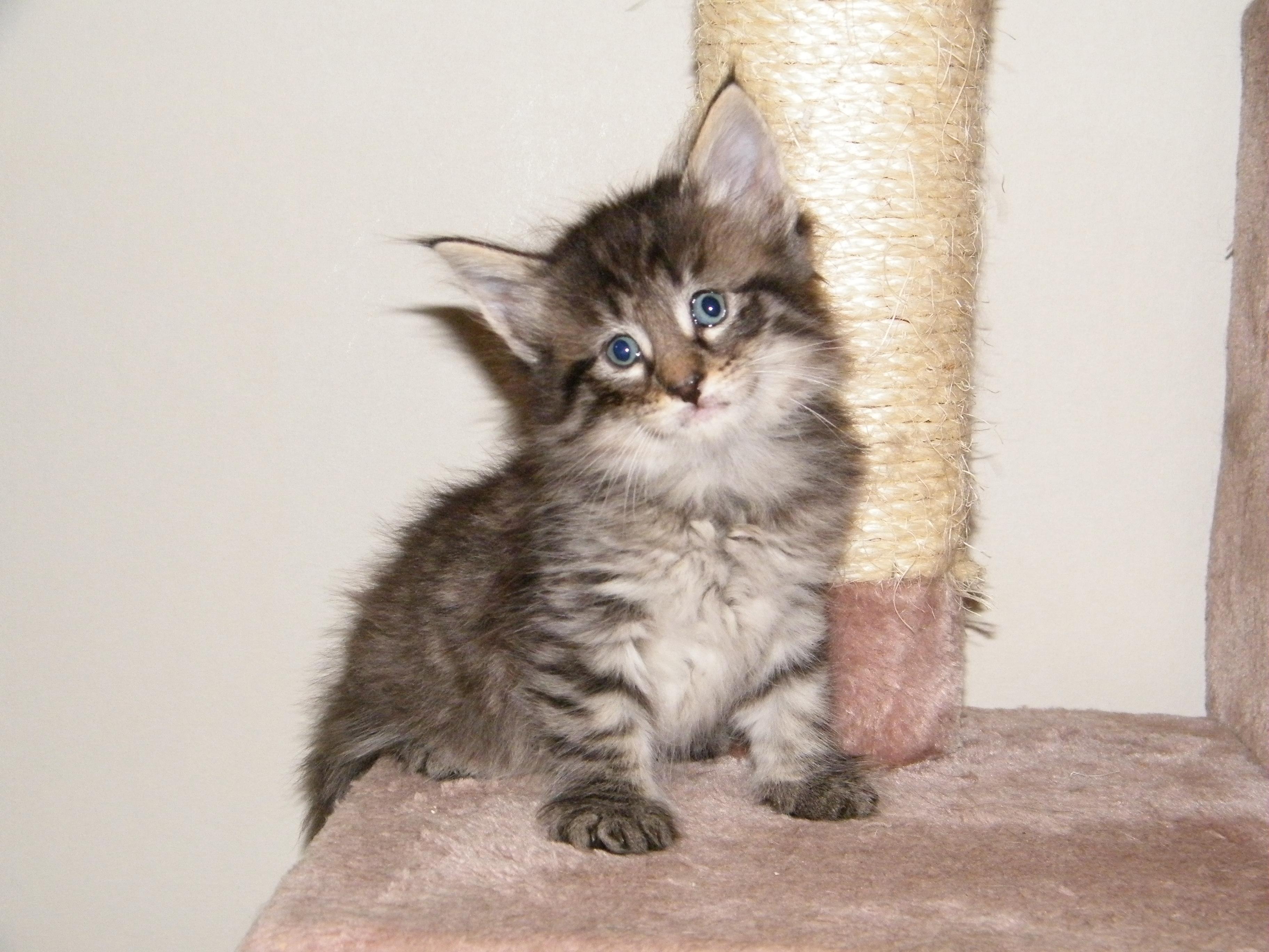 S StarsHollow's Har 7 kattungar till salu 09 Kattungar till salu Norsk Skogkatt iFokus