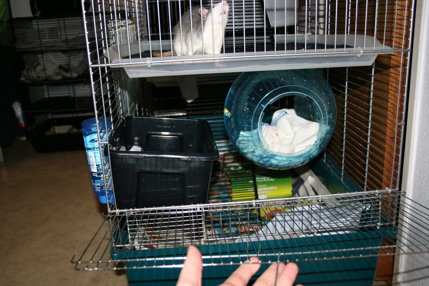 Hyllplan till bur   mat och dryck   råttor ifokus