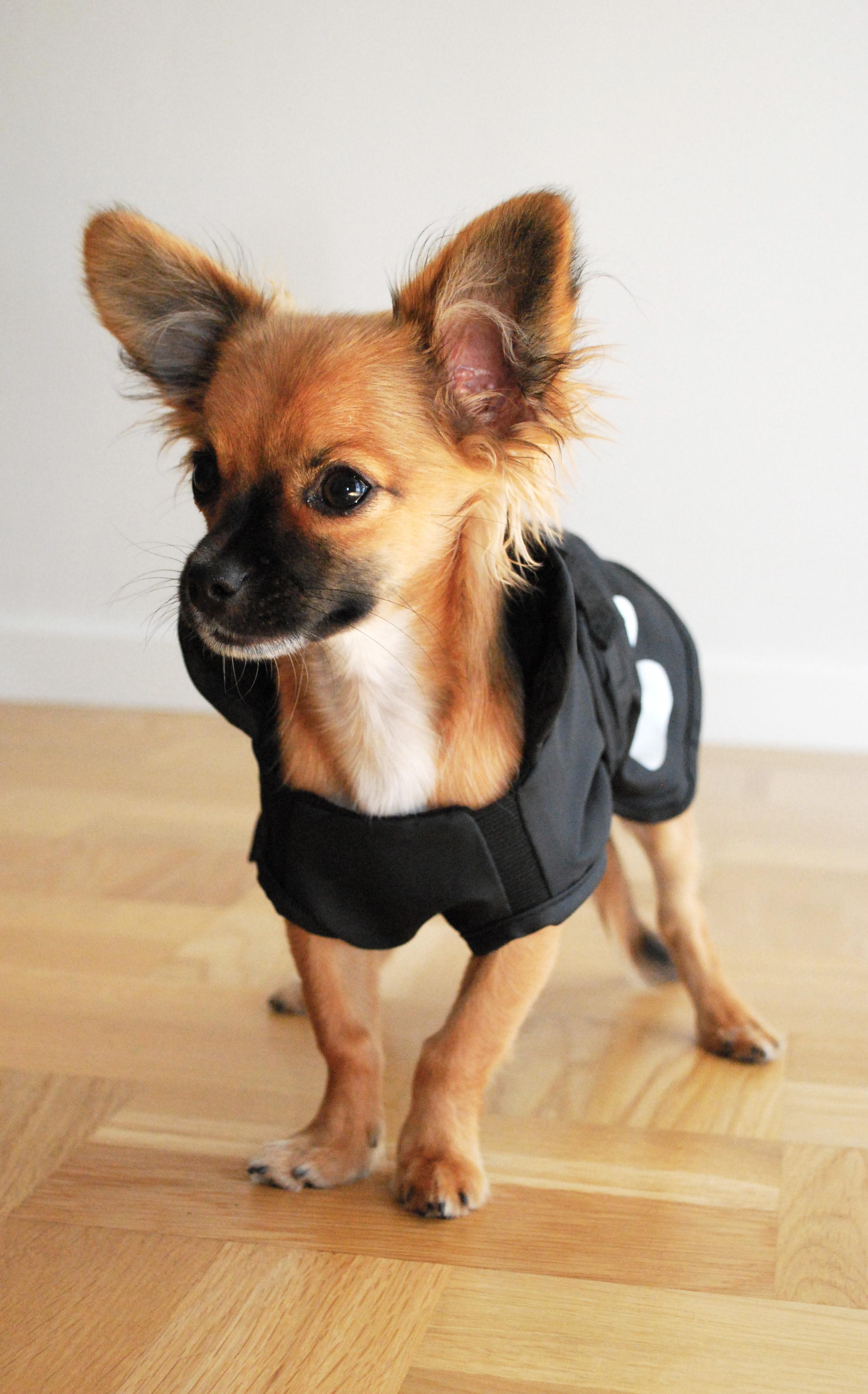 Icke gamla Kläder/halsband *bildtråd* - Bildtrådar - Chihuahua iFokus IS-29