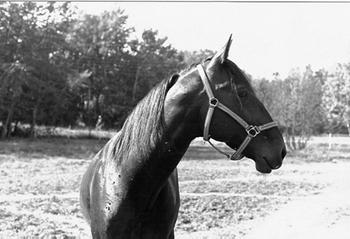 Hästen Medde