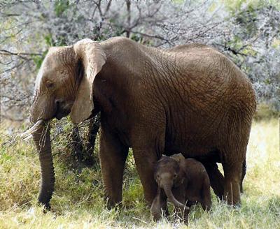 Elefant med kalv