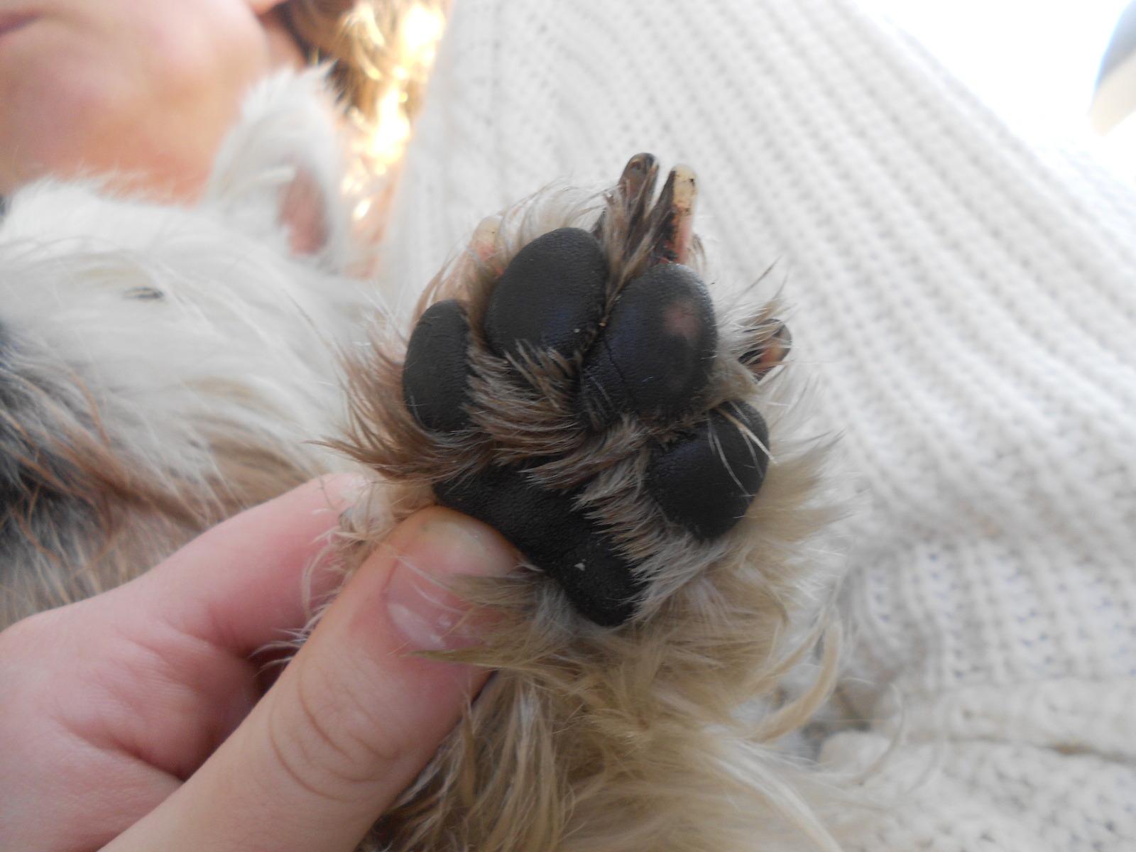 Tassen Hund : Spricka i trampdynan vad g?ra h?lsa hundar ifokus