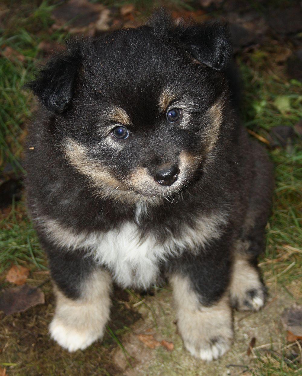 Finsk Lapphund Lite Allt M 246 Jligt Kennel Ifokus