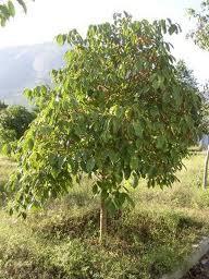 träd skalas