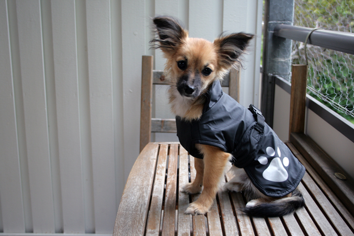 Fantastisk Kläder/halsband *bildtråd* - Bildtrådar - Chihuahua iFokus BQ-58