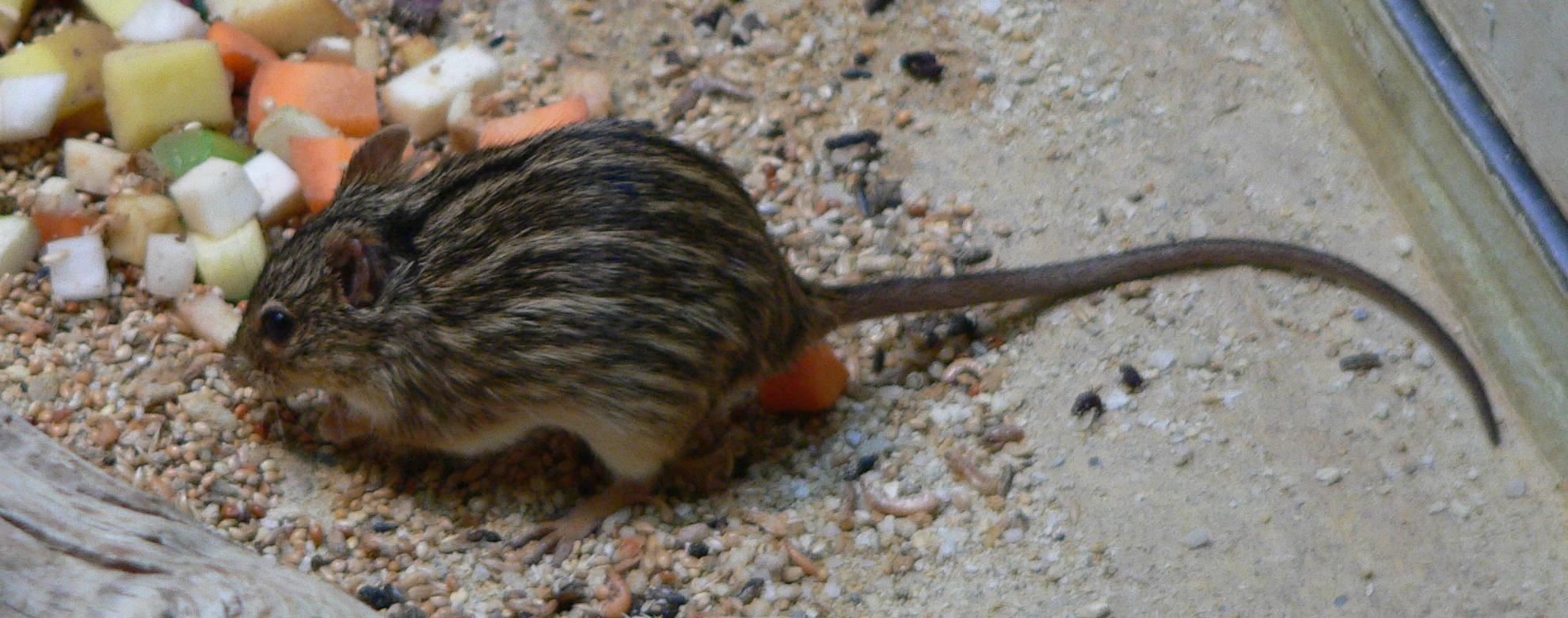 Bild på Sebramus från Wikipedia