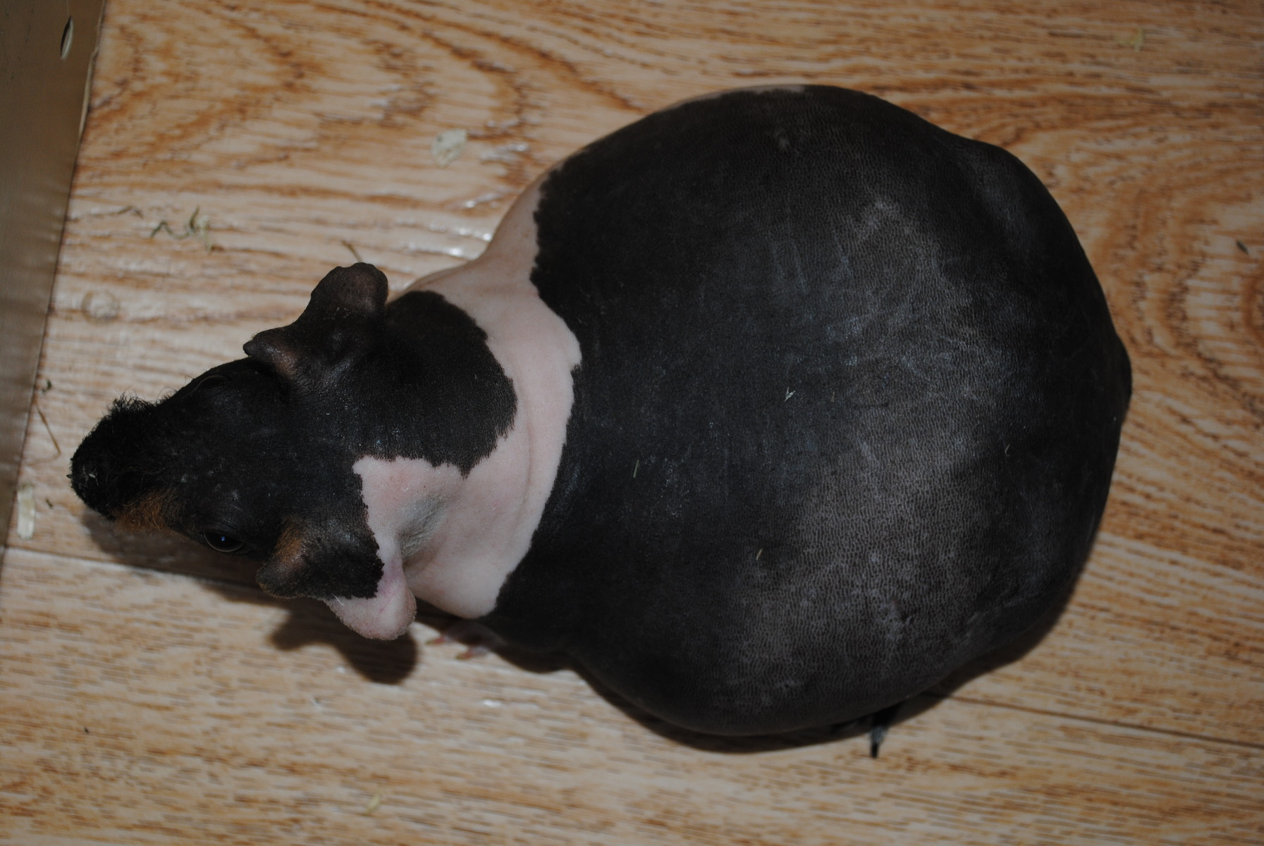 gravid marsvin