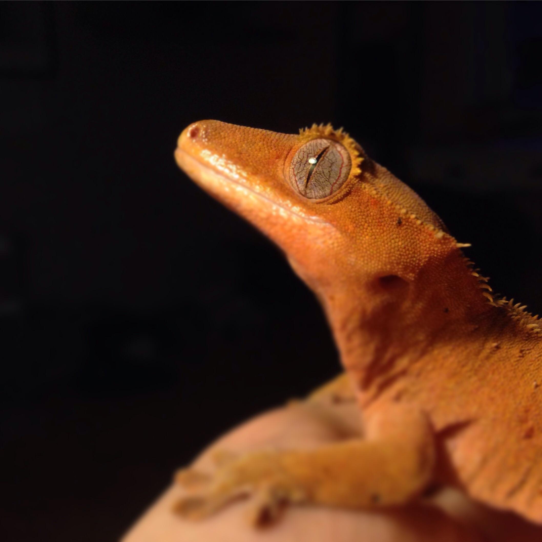 Bildresultat för ögonfransgecko som äter dubia