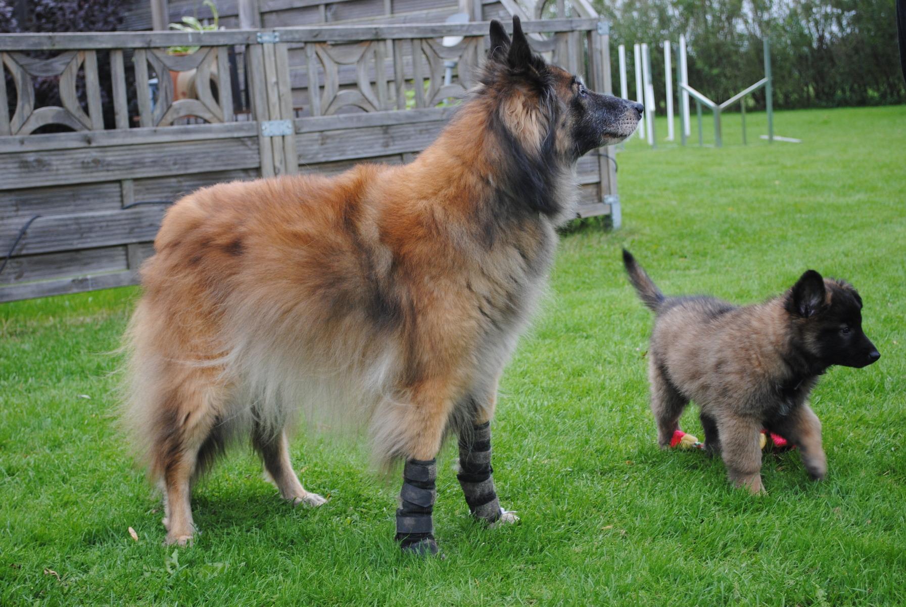 Belgisk Vallhund Tervueren Bilder Amp Filmer Hundar Ifokus