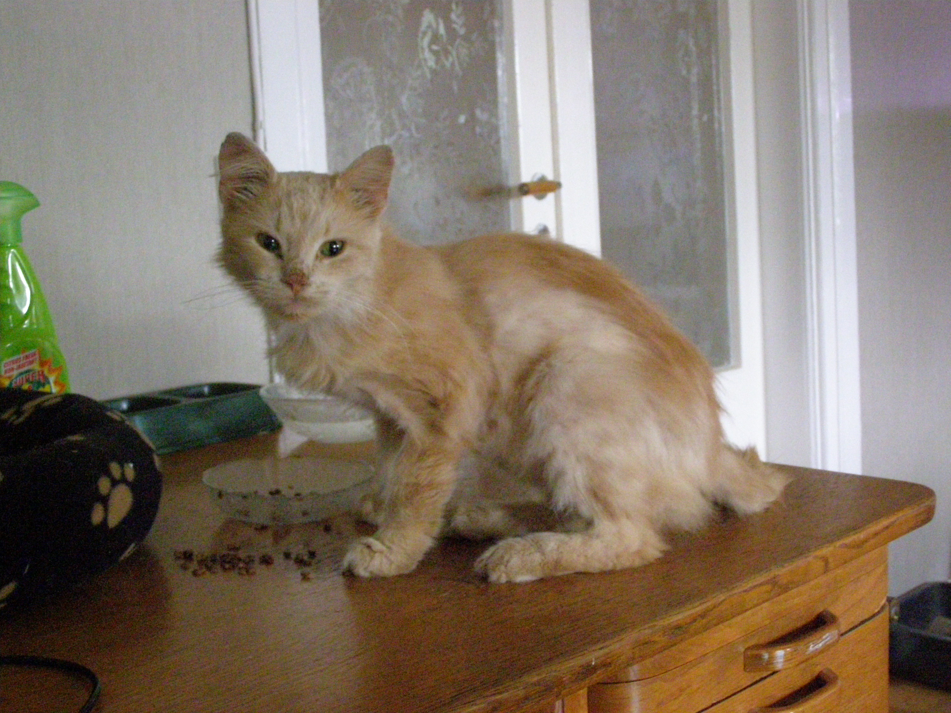 katt med sköldkörtelproblem