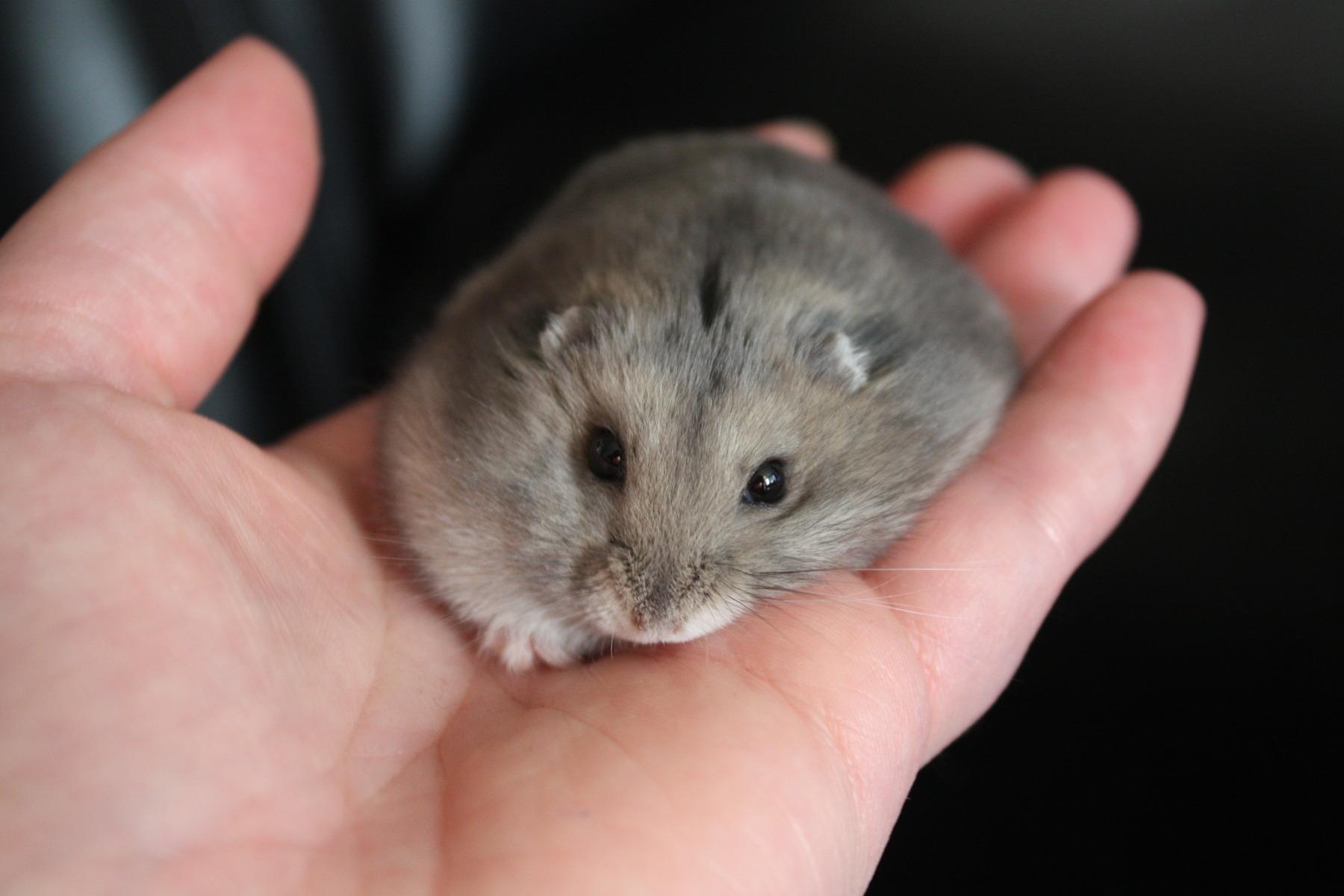 hamster 無料 動画
