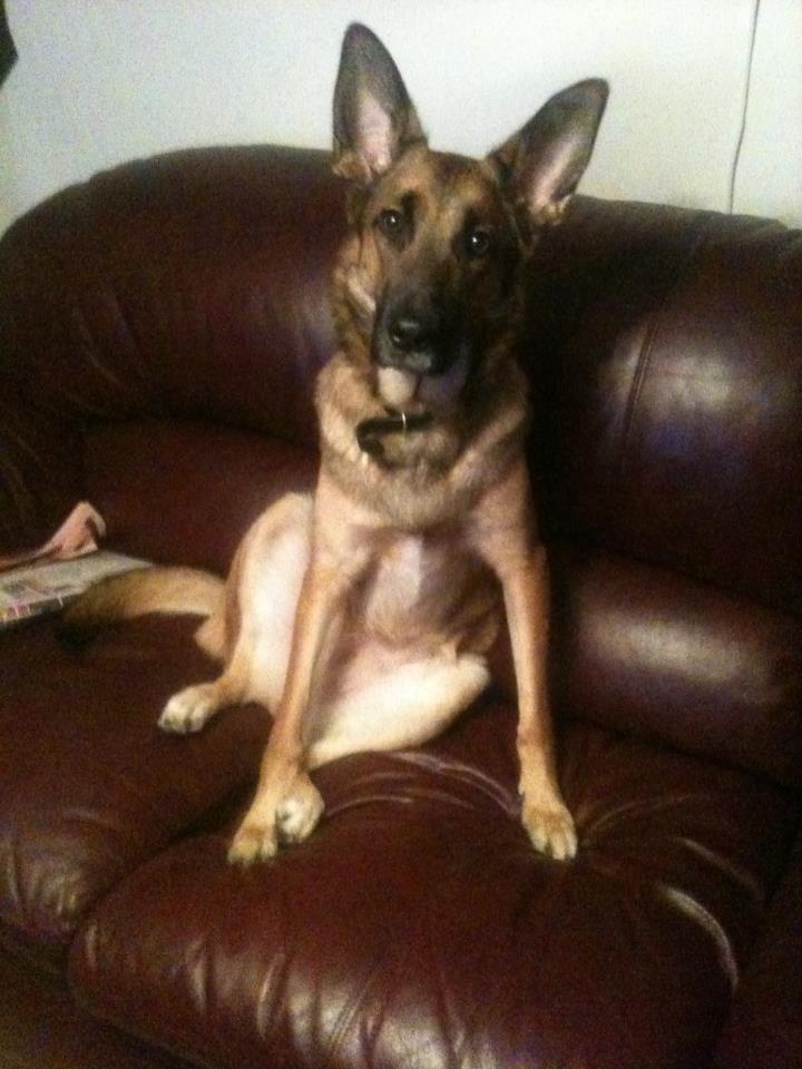 Resultado de imagen para German Shepherd Hund sitter på soffan