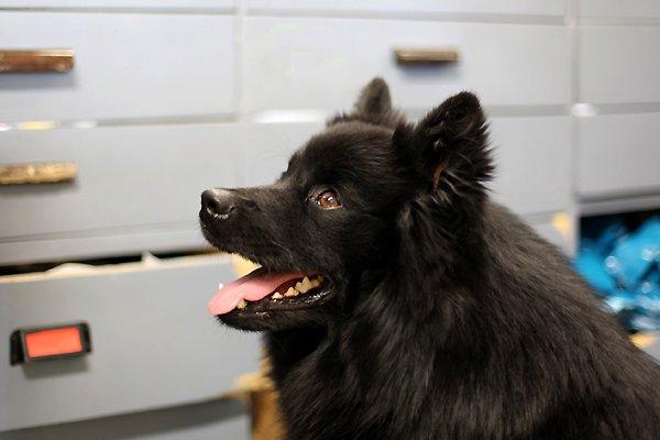 skk köpa hund finsk lapphund