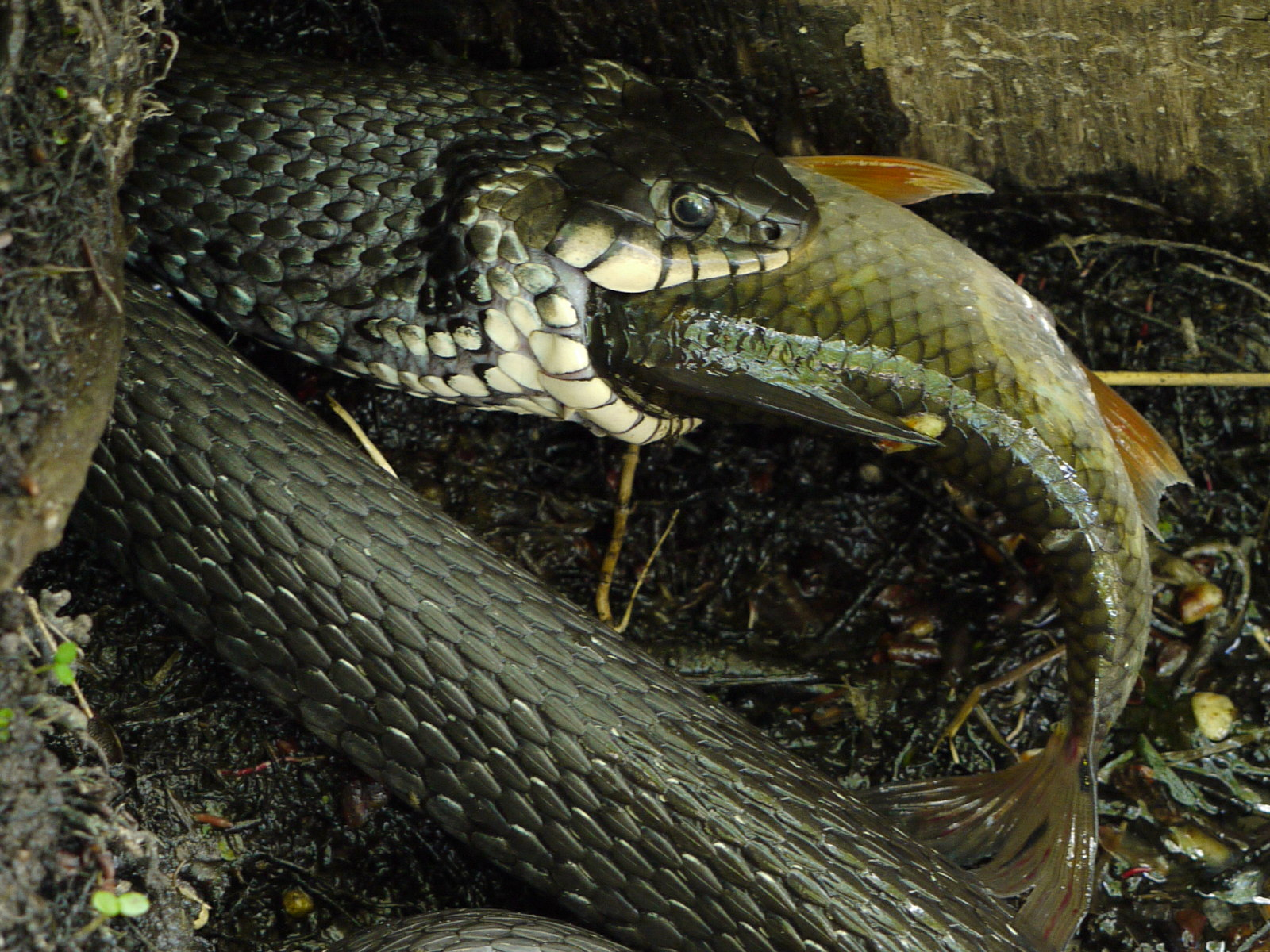 Water snake and prey