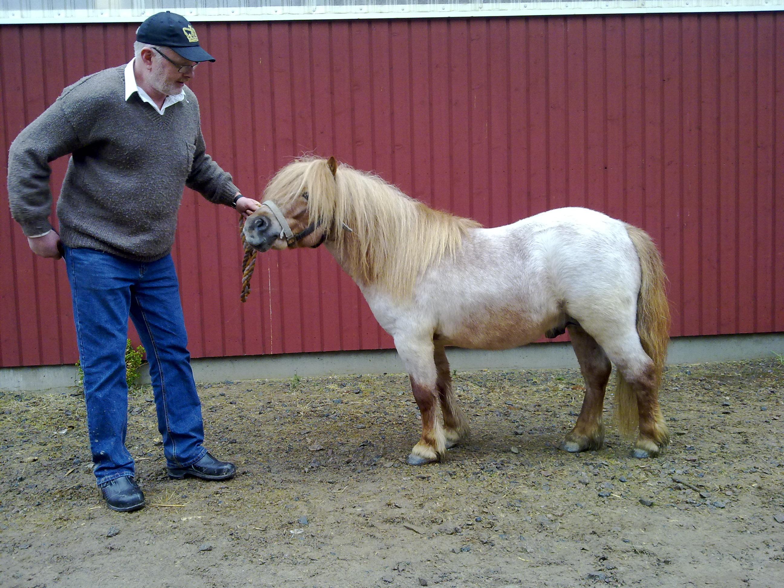pre hästar till salu skåne